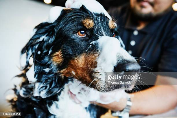 dog with soap bubbles on head being washed by groomer in pet shop - groom stock pictures, royalty-free photos & images