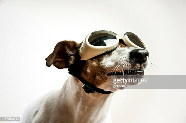 dog with sunglasses - flying goggles stock pictures, royalty-free photos & images