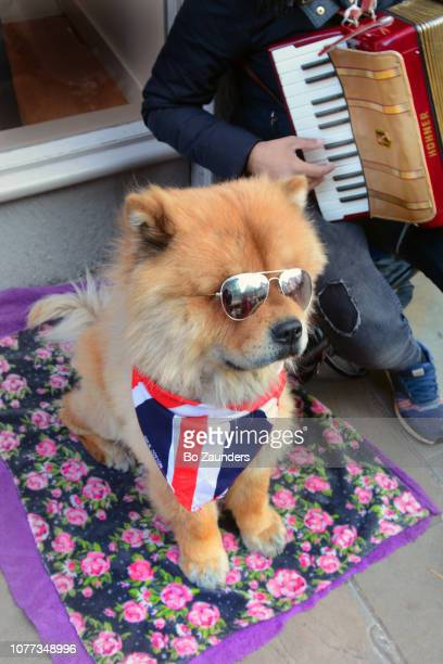 dog with sunglasses, with accordian player, in Winchester, Hampshire, England on High Street, in Winchester, Hampshire, UK