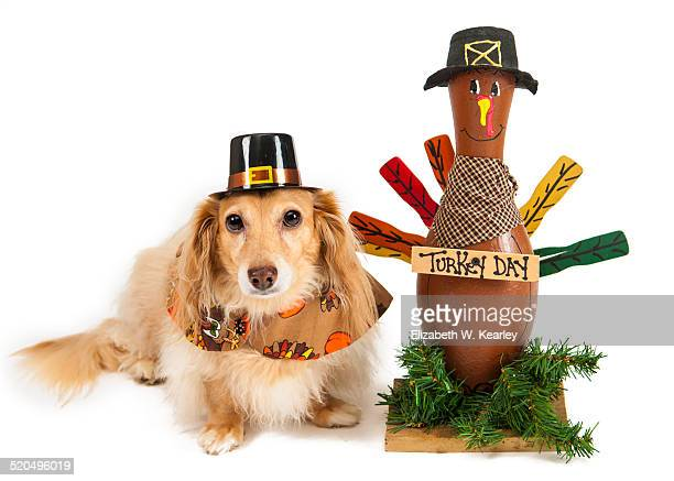 dog with thanksgiving turkey - thanksgiving dog stock photos and pictures