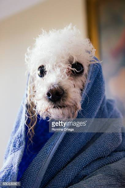 dog with towel after bath - miniature poodle stock photos and pictures