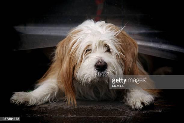 dog wonting to escape - tibetaanse cultuur stockfoto's en -beelden