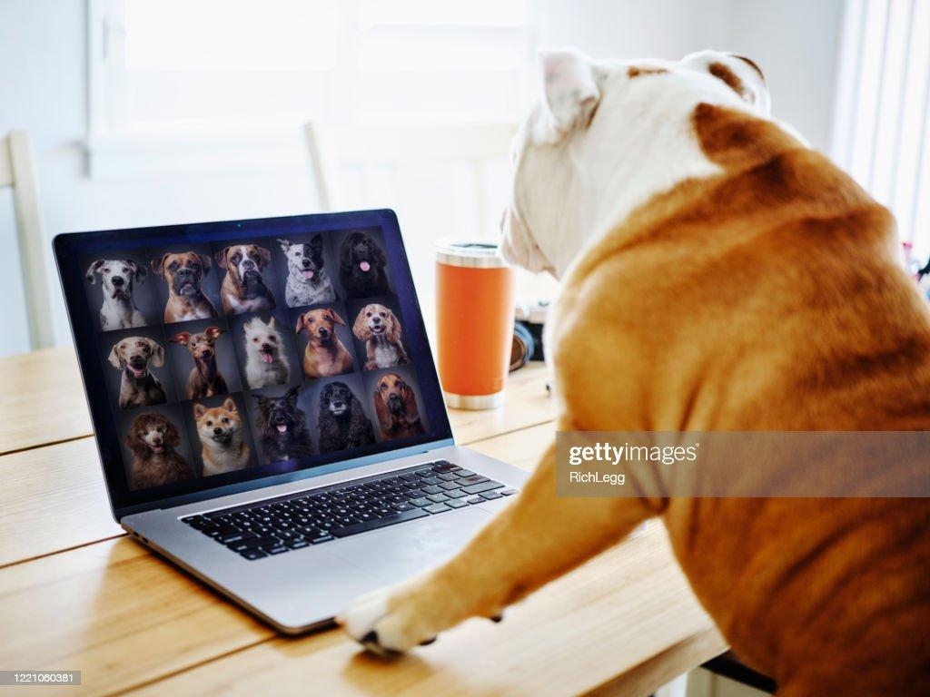 Hond die thuis op een Vergadering van de Praatje van het Web werkt : Stockfoto