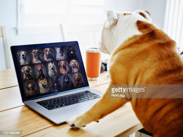 dog working at home on a web chat meeting - animal stock pictures, royalty-free photos & images