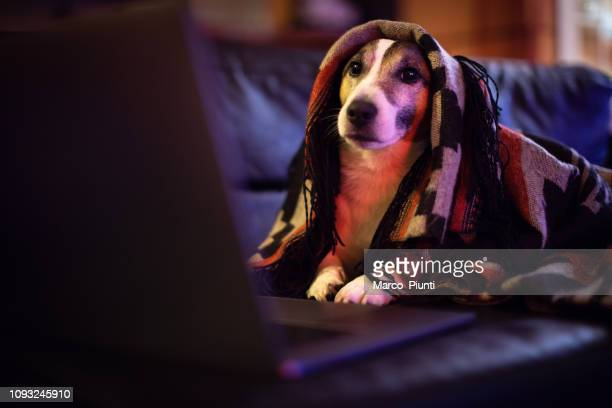 dog working comfortably from home - redoubtable film stock photos and pictures