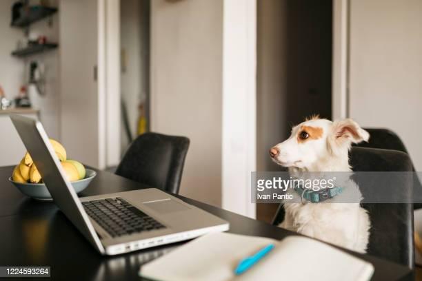 dog working on a laptop - dog pad foto e immagini stock
