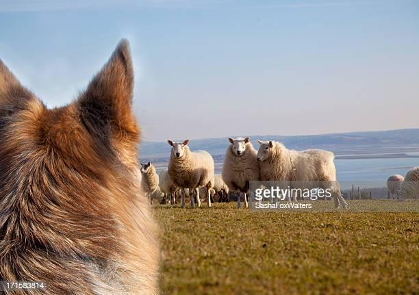 Hund beunruhigende Schaf
