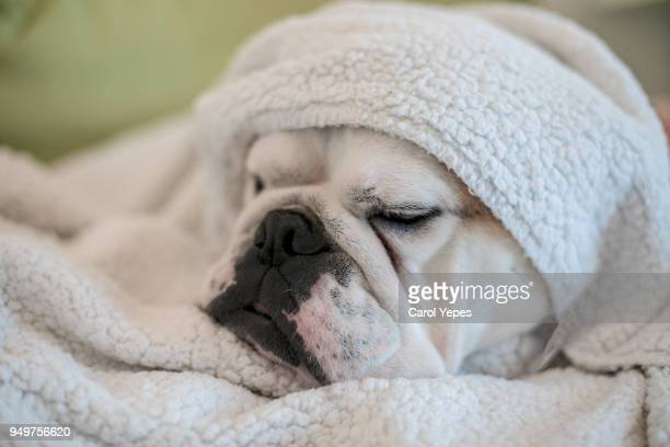 dog wrapped in a towel after bath - good condition stock pictures, royalty-free photos & images