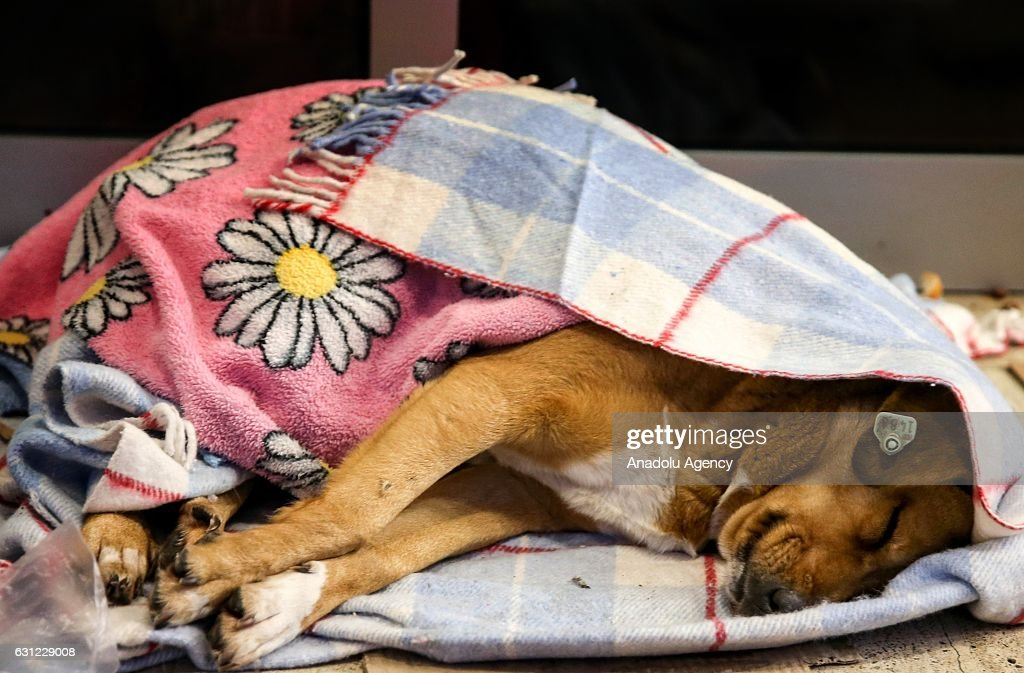 A dog wrapped in blanket sleeps at the entrance of a shopping center in Bakirkoy district of Istanbul, Turkey on January 8, 2017. Citizens feed animals and lay blankets on the floor to warm them up during inclement weather conditions.