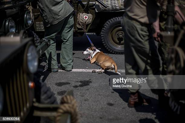 Dog yawns next to U.S. Army jeeps during stop over the 'Convoy of Liberty' event which drive through west Bohemian cities and villages in Prestice on...