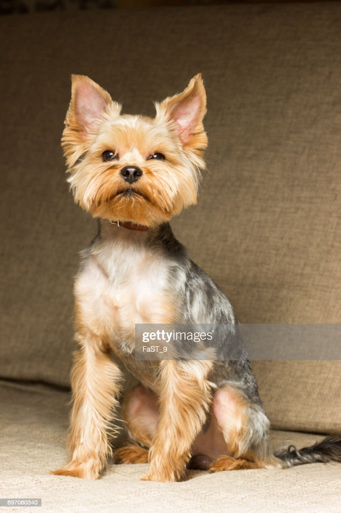 Dog Yorkshire Terrier After A Haircut Sits On The Couch Stock Photo