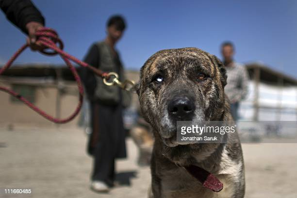 60 Top Dog Fighting Pictures, Photos and Images - Getty Images
