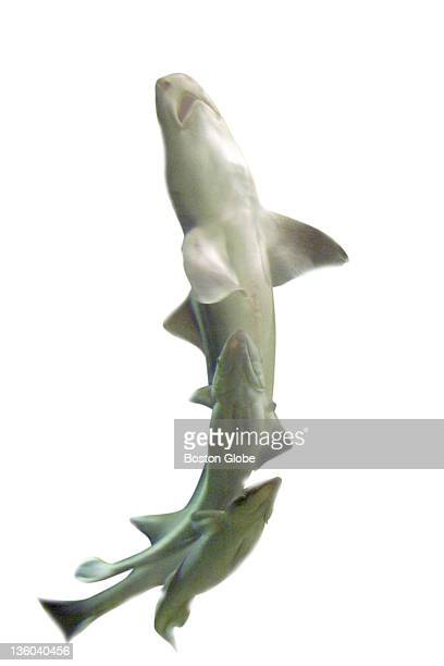 A dogfish breaks the surface of its tank followed closely by several remora at the Woods Hole Aquarium