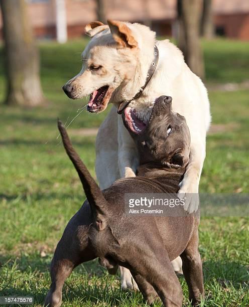 doggish scuffle: retriever du labrador et pitbull-terrier - pit bull photos et images de collection
