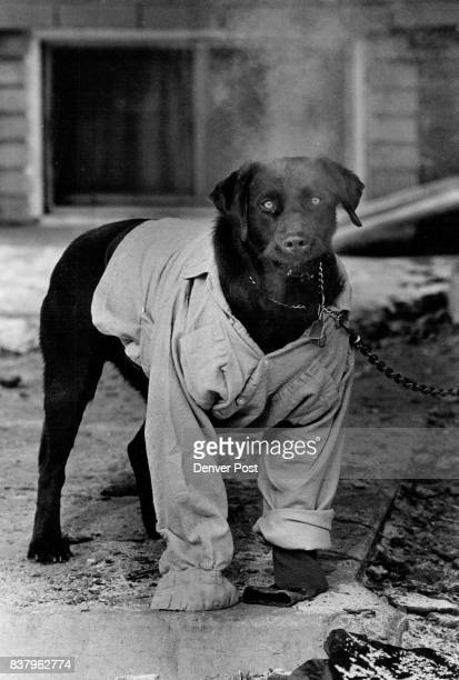 Doggone bad weather Courtney the chocolate lab is wearing a shirt the keep her warm in front of 50th Ave and Perry St She also has a bad case of hot...