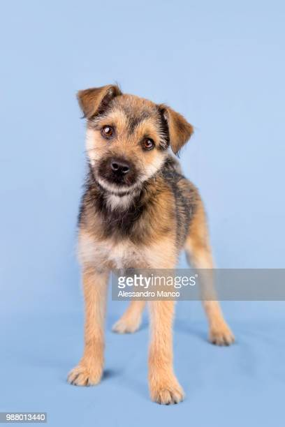 doggy - border terrier stock pictures, royalty-free photos & images