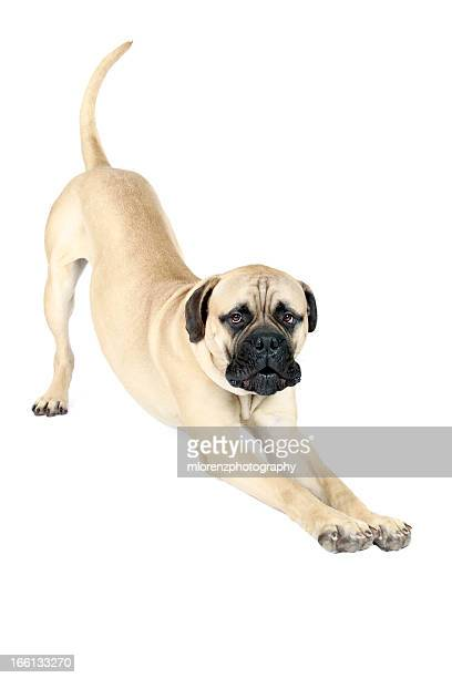 doggy yoga - bull mastiff stock pictures, royalty-free photos & images