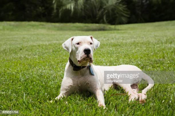 Dogo Argentino  Dog.