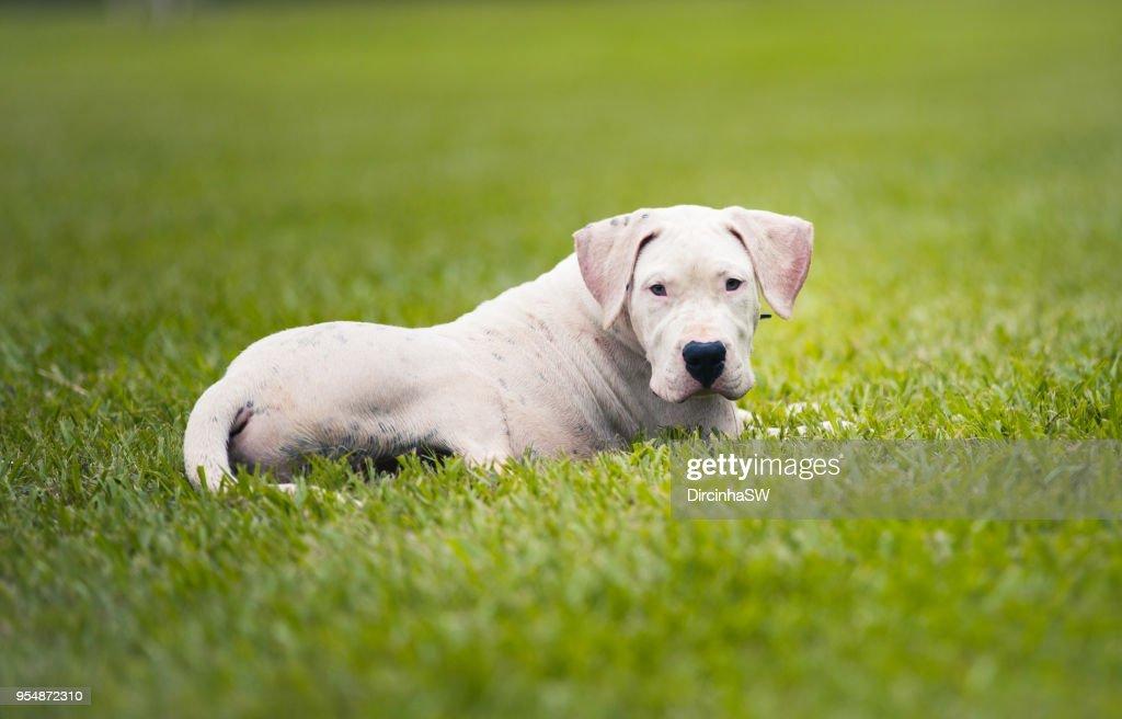 Dogo Argentino Dog Stock Photo - Getty Images