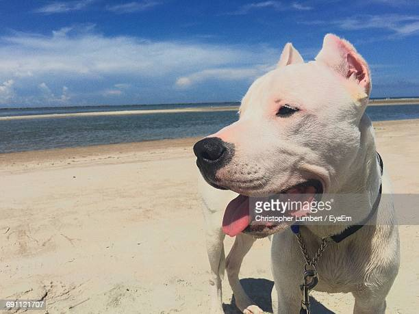 Dogo Argentino Looking Away While Standing At Beach Against Sky