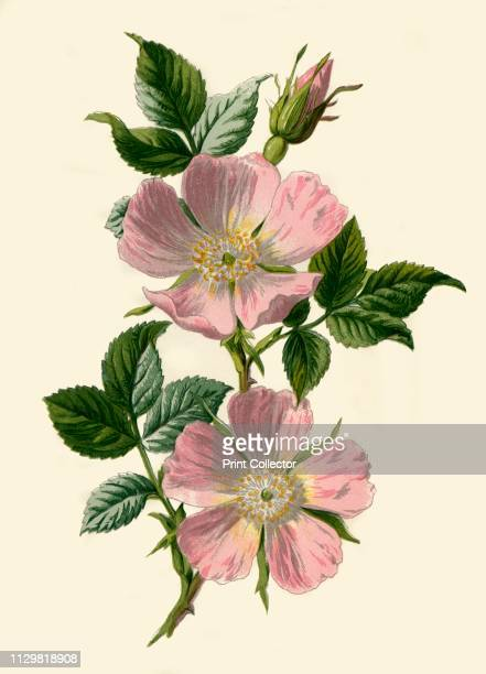 'DogRose' 1877 DogRose climbing wild rose and deciduous shrub high in certain antioxidants From Familiar Wild Flowers figured and described by F...