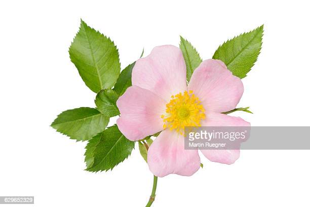 dog-rose (rosa canina). - dog rose stock photos and pictures