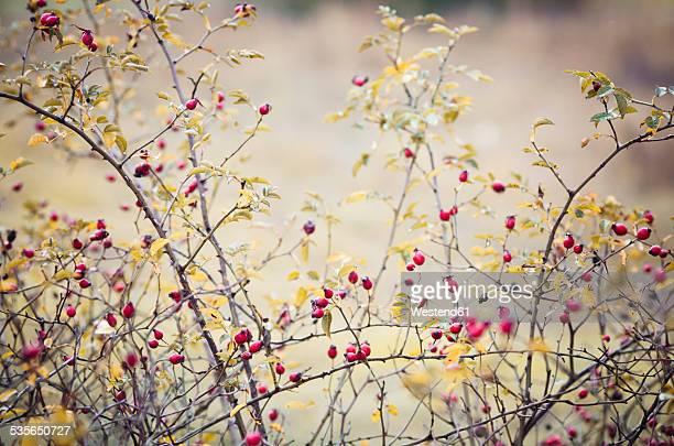 Dogrose, Rosa canina, in autumn