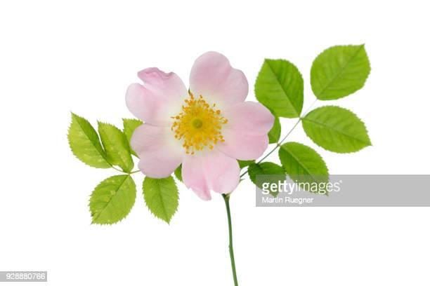 dog-rose (rosa canina), white background. bavaria, germany, studio shot. - dog rose stock photos and pictures