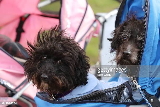 Dogs and owners arrive for the first day of Crufts Dog Show at NEC Arena on March 09 2017 in Birmingham England First held in 1891 Crufts is said to...
