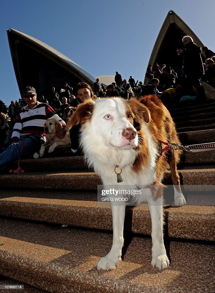 Dogs and their owners gather on the steps of the Sydney Opera House on June 5, 2010 for a world first 'Music for Dogs' concert, the brainchild of New York performance artist Laurie Anderson. Almost 1,000 dog-lovers packed onto the Opera House steps and forecourt to treat their beloved pets to the free outdoor event, which is part of the Vivid LIVE arts festival curated by Anderson and rock legend partner Lou Reed. AFP PHOTO / Greg WOOD