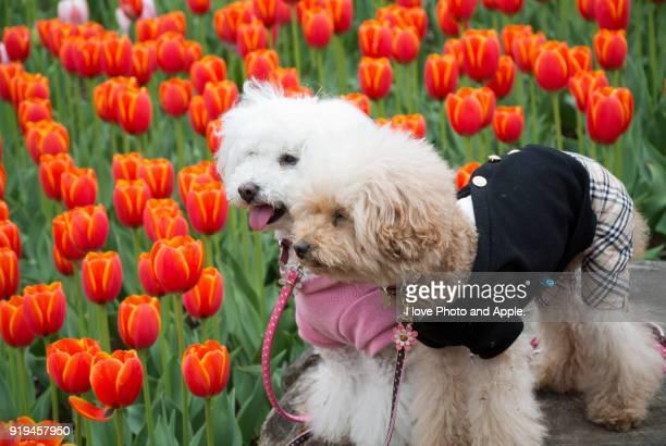 dogs and tulip - barboncino nano foto e immagini stock