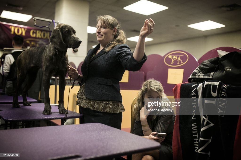 Dogs are competing to become best during the 142nd Westminster Kennel Club Dog Show at Madison Square Garden in New York City, United States on February 12, 2018.