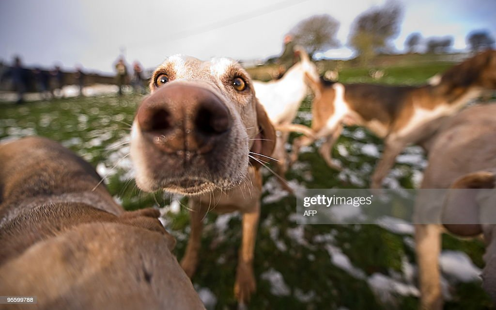 Dogs are pictured during a hunting party : News Photo