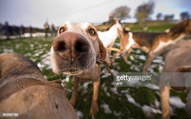 Dogs are pictured during a hunting party for the traditional Boxing Day hunt near Barlow in Derbyshire north England on December 26 2009 Despite the...