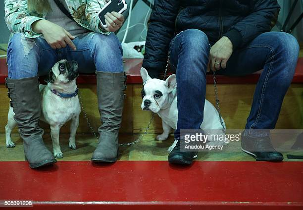Dogs are seen during 12th Dog Contest in Izmir Turkey on January 17 2016