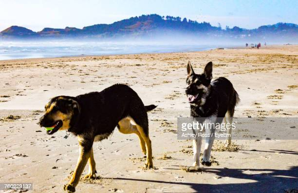 dogs at beach during sunny day - ashley ross stock pictures, royalty-free photos & images