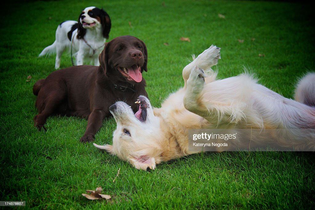 Dogs at play : Stock Photo