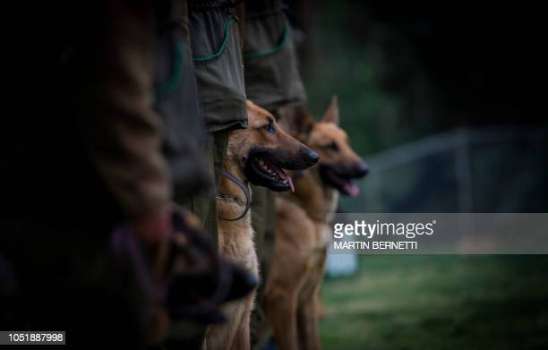 Dogs attend a training session at the Chilean police canine training school in Santiago on October 09 2018 Two hundred dogs of different breeds such...