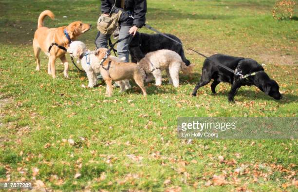 dogs being walked by dog walker in park - lyn holly coorg stock pictures, royalty-free photos & images