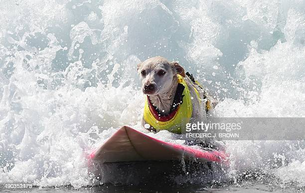 Dogs big and small and some in tandem or with their owner participate in the 7th annual Surf City Surf Dog contest in Huntington Beach California on...