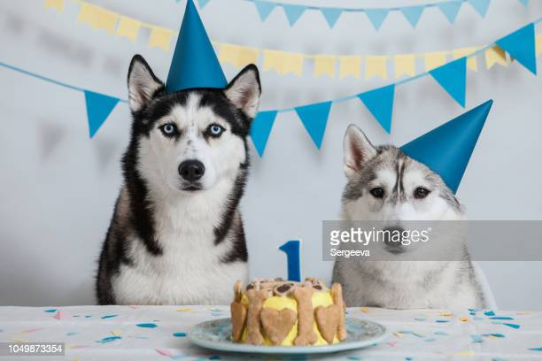 dog's birthday - funny birthday stock photos and pictures