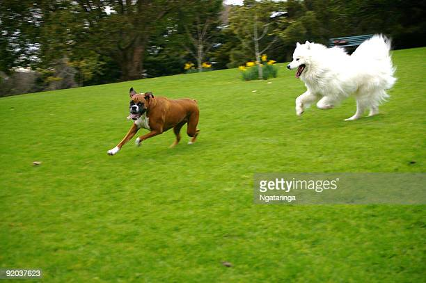 dogs chasing each other in park - dog fight stock pictures, royalty-free photos & images