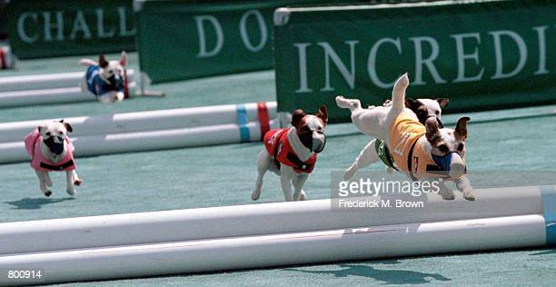 Dogs compete in the Jack Russell Terrier Hurdle Racing Competition at the Incredible Dog Challenge in Pomona, CA, April 8, 2000. The winners will...