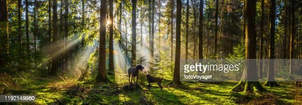霧の朝の森の深い犬は、森のパノラマを照らします - イングランド南西部 ストックフォトと画像