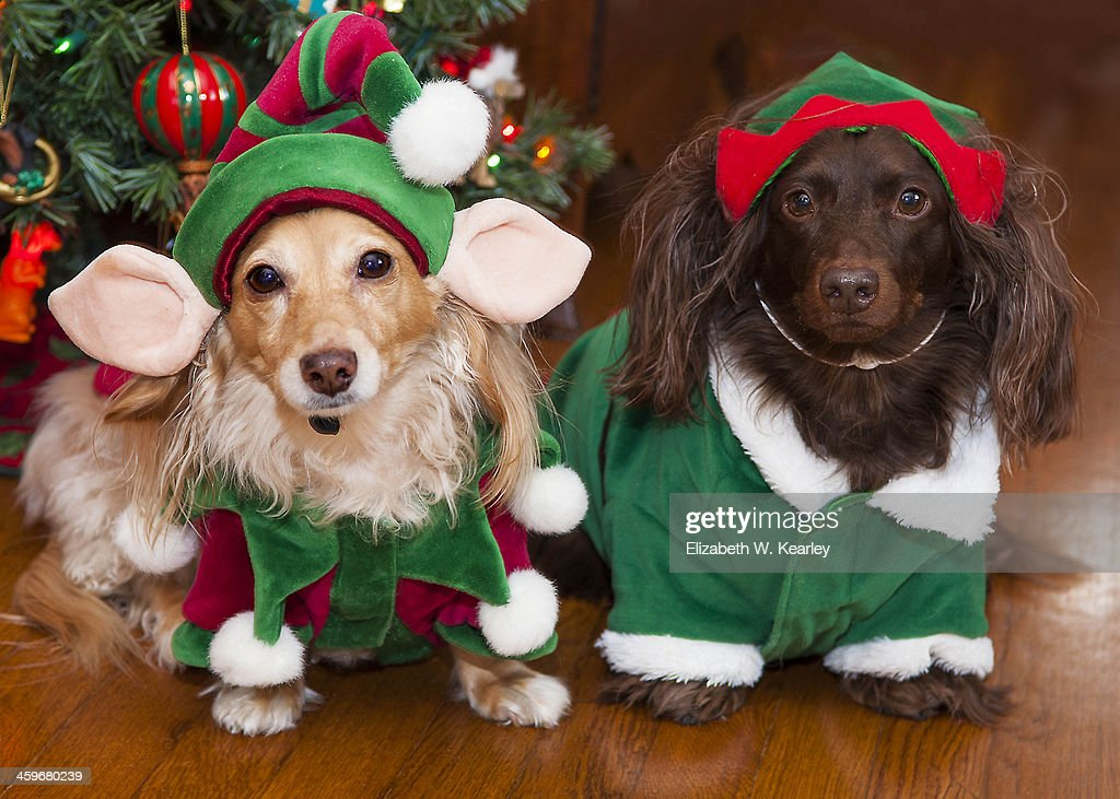 Dogs dressed as elves : Stock Photo