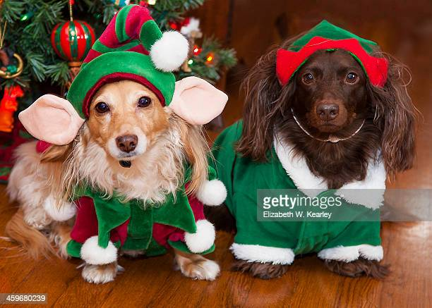 dogs dressed as elves - dachshund holiday stock pictures, royalty-free photos & images