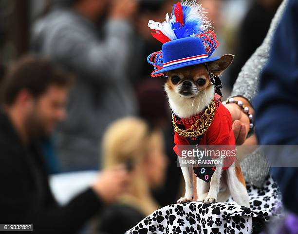 Dogs dressed in Halloween costumes are displayed during the annual Haute Dog Howl'oween parade in Long Beach California on October 30 2016 The parade...