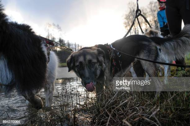 Dogs drink water from a nearly frozen pond in Bydgoszcz Poland on December 17 2017 A local group called HDR Wataha organizes activities that people...