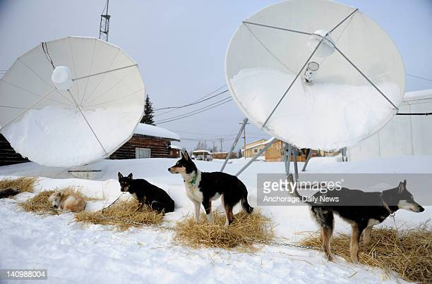 Dogs dropped by mushers' teams await transport from Nikolai Alaska during the Iditarod Trail Sled Dog Race on Tuesday March 6 2012