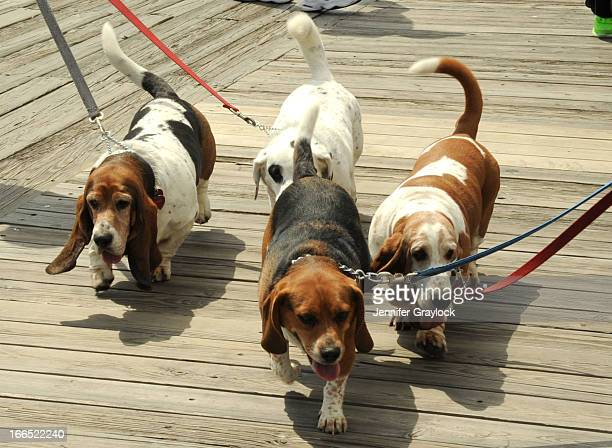 Dogs during Doo Dah Parade and TriState Basset Hound Rescue 2013 BoardWaddle on April 13 2013 in Ocean City New Jersey